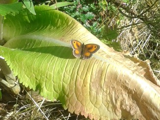 A male Gatekeeper - note the brown lines in the middle of the forewings