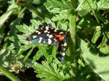 Scarlet Tiger moths mating (Callimorpha dominula)
