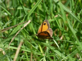 ID tips: Note the orange on both the forewing and hindwings, plus two white spots in the black spot on the forewing