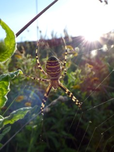 Wasp Spider (Argiope bruennichi)