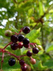 Elder berries (Sambucus nigra)