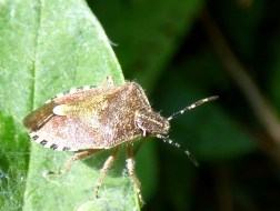 Hairy Shieldbug (Dolycoris baccarum)