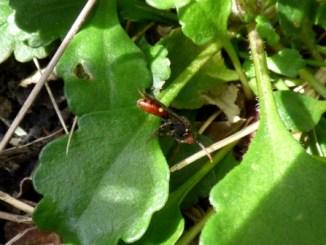 Yellow-shouldered Nomad Bee (Nomada ferruginata)