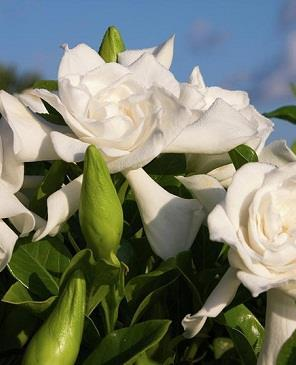 نبتة الجاردينيا