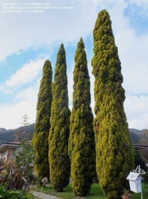 شجرة السرو المخروطي