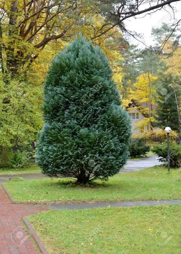 شجرة الثويا