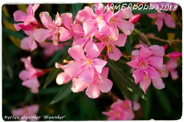 شجرة الدفلة الوردية