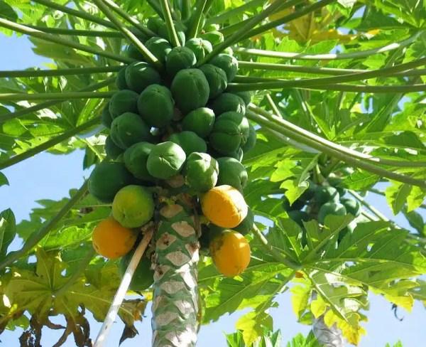 شجرة بابايا