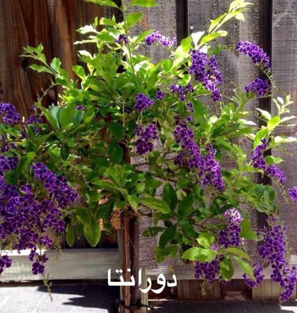 نبات الدورانتا