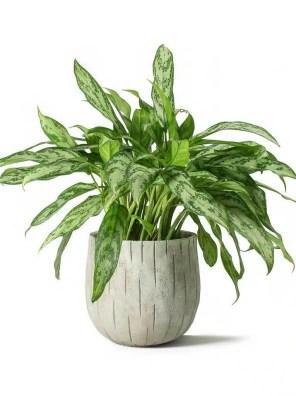 نبات الاجلونيما