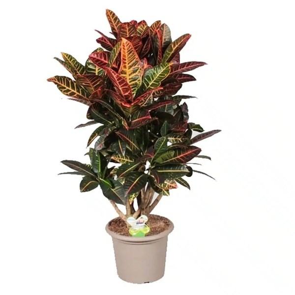 نبات كروتون