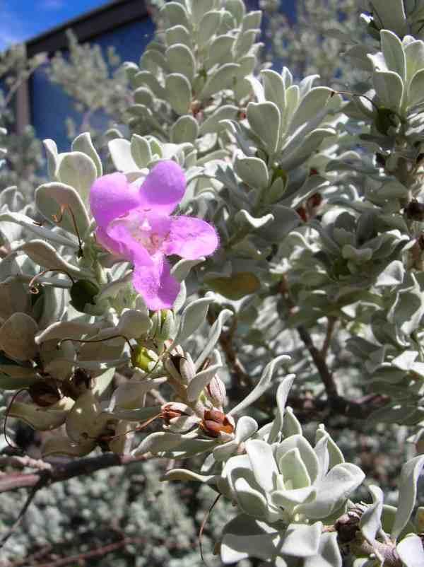 نبات ليكوفليوم