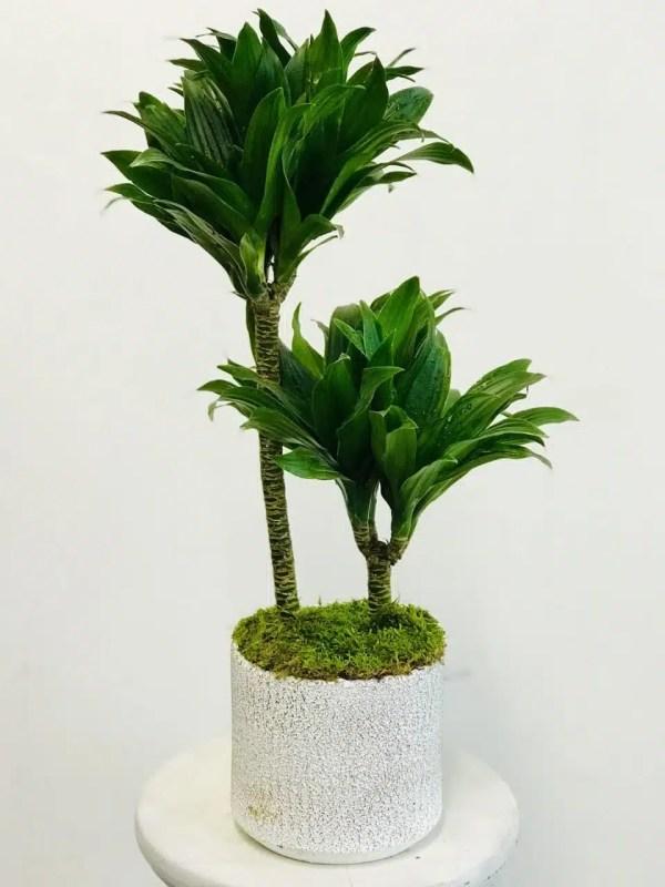 نبات دراسينا كومباكتا