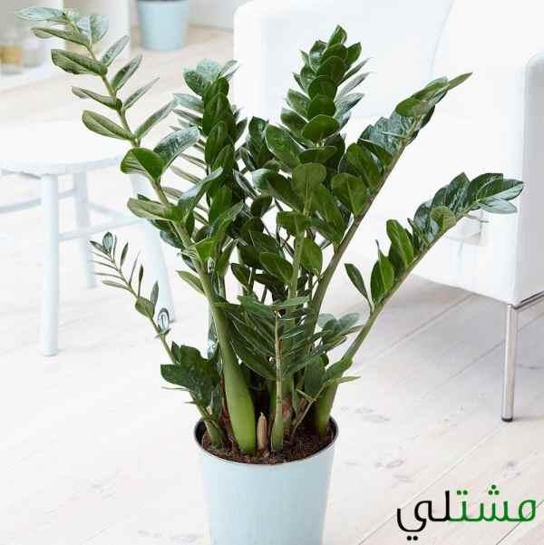 نبات الزاميا كولاس