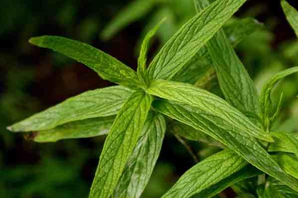نبات الحبق