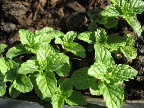 نبات النعناع الحار