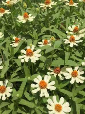 زهور داليا