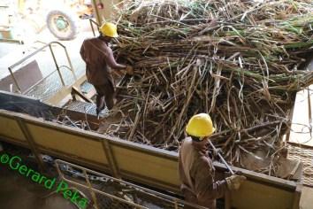 sugarcane (1)