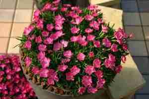 NH-18 花はなライトサーモン