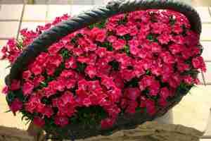 NH-16 花はなスカーレット