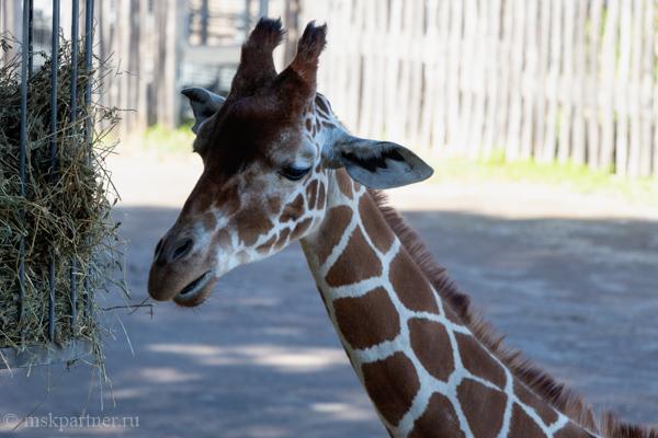 Жираф в зоопарке Рима