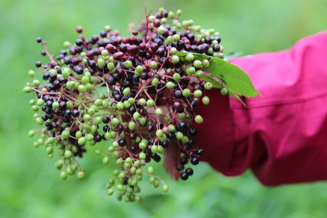 elderberries, foraging, Sweden