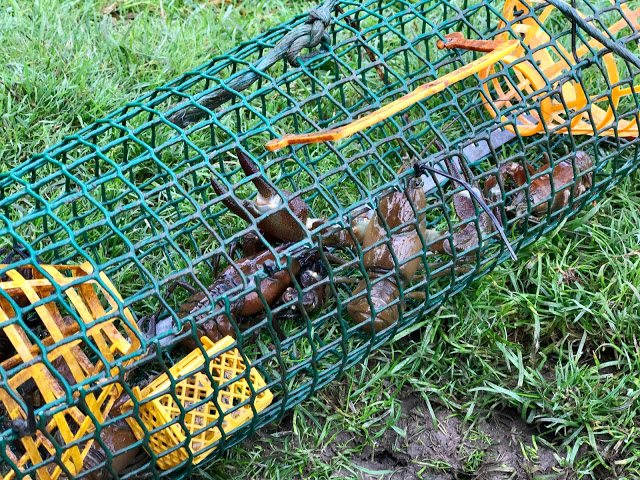 crayfish in cages,  pure food camp, Skane, Sweden