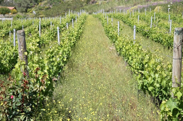 wild flowers in a vineyard, mount Etna wines, Nicosia winery, Sicily,