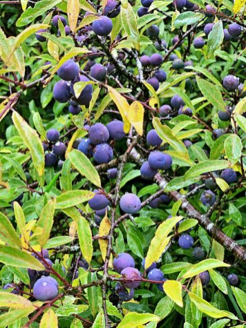 sloes hedgerow foraging pic Kerstin Rodgers - 1
