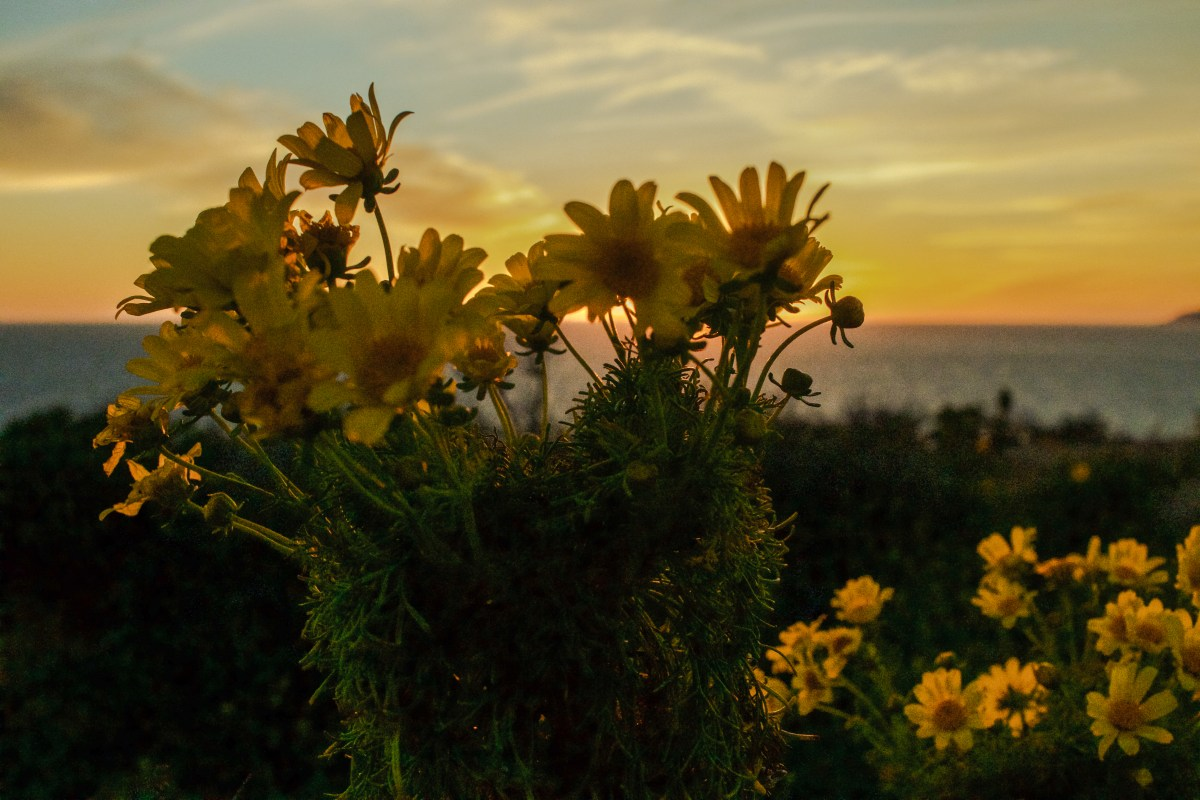 Wildflowers, Yellow, Malibu Beach, Sunset, Golden Hour, Beautiful Nature Scenes,