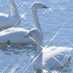 もう、白鳥が来ています 宮城県内飛来地・伊豆沼・白石川大河原公園