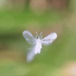 冬の訪れを告げる雪の妖精「雪虫」ゆきむし 不思議な生態・儚い命・大量発生