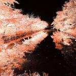 弘前公園 紅葉ライトアップとりんご飴マン ネットで話題に「弘前城菊と紅葉まつり」