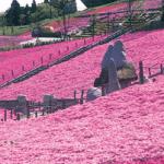 白石市 スパッシュランドパーク 芝桜 2019 4月下旬から ピンク色の花の絨毯