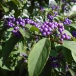 ムラサキシキブの育て方 花画像 花言葉 コムラサキとの見分け方