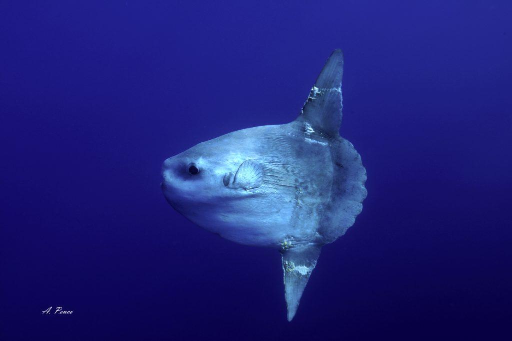 Quot Pesce Luna Quot Mola Mola Schede Museo Di Storia Naturale
