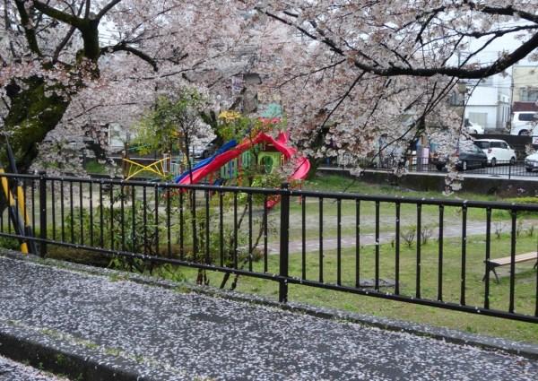 4-13 雨の桜並木 300