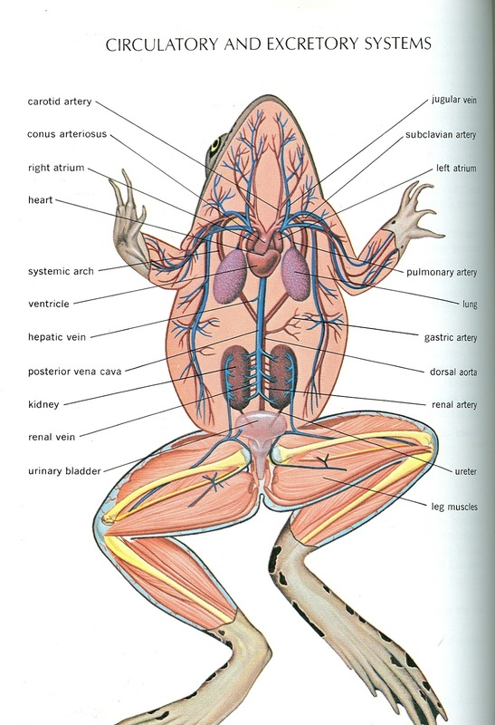 frog inside diagram 2002 kia sportage wiring and human anatomy comparison - ms. pearrow's 7th grade science