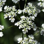 cow_parsley