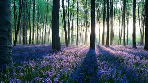 bluebells in forest