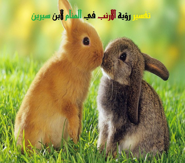 تفسير رؤية الارنب في المنام لابن سيرين وابن شاهين موقع مصري