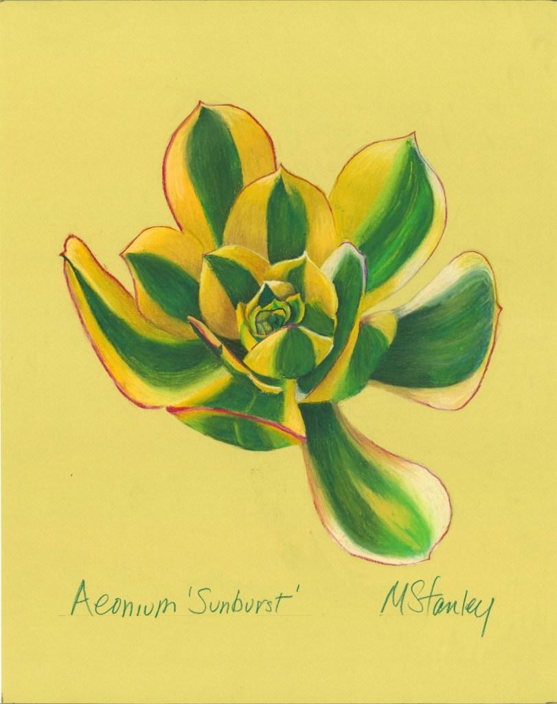 Aeonium sunburst