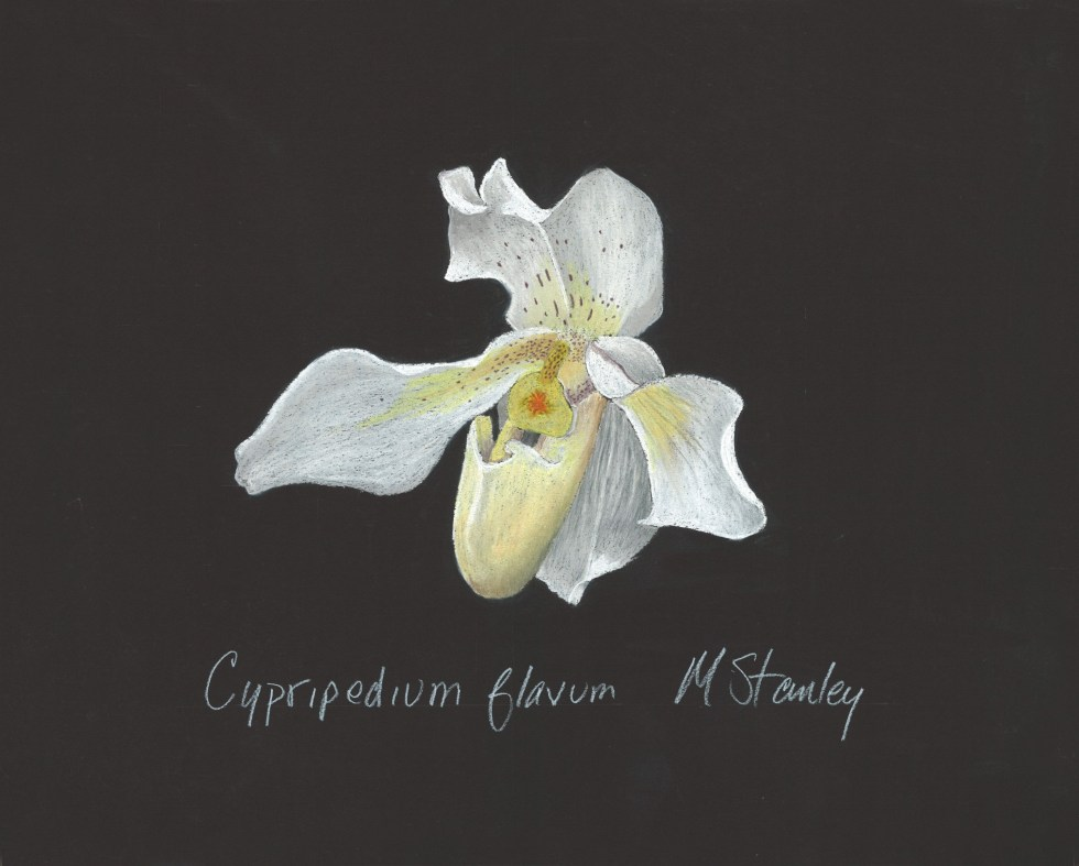Cypripedium flavum 1