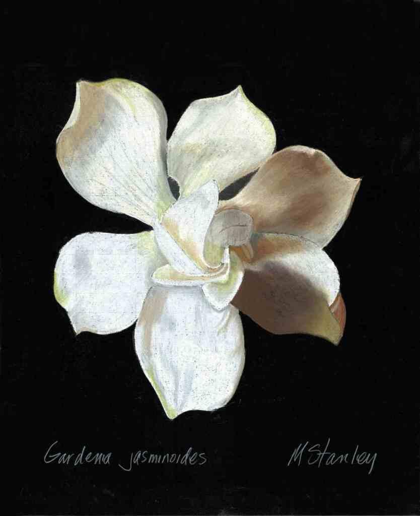 Gardenia jasminoides2