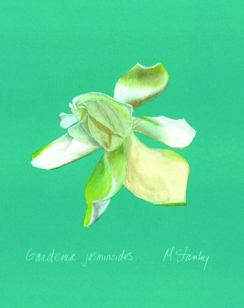 Gardenia jasminoides3