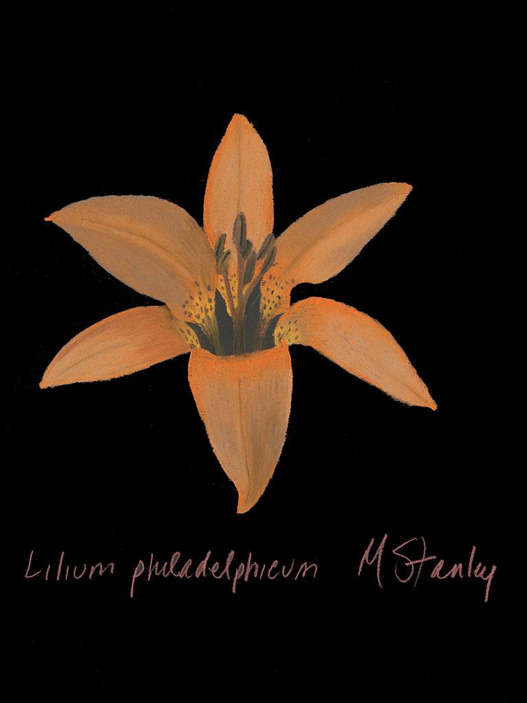 Lilium philadelphicum