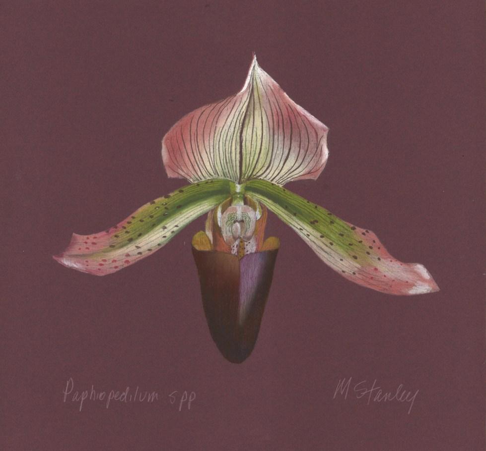 Paphiopedilum spp p