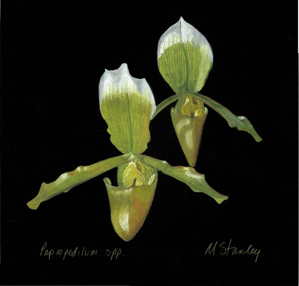 Paphiopedilum spp y