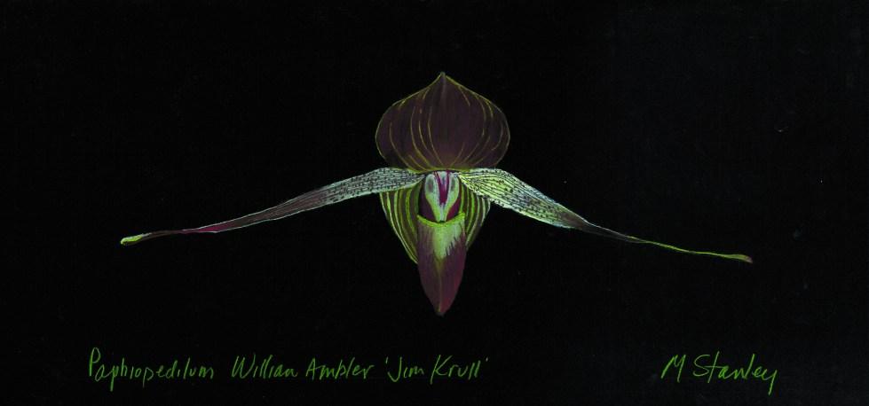 Paphiopedilum William Ambler 'Jim Krul'