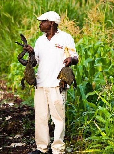 非洲巨型青蛙:成年後重3公斤 身長可達1米